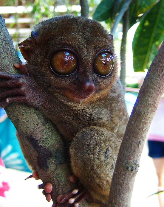 Tarsier with Huge Eyes