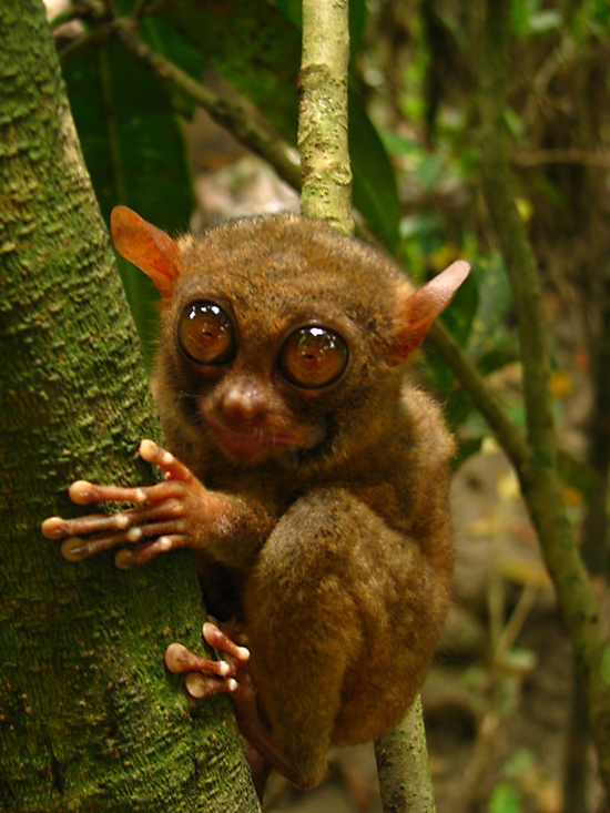 Tarsy the Tarsier