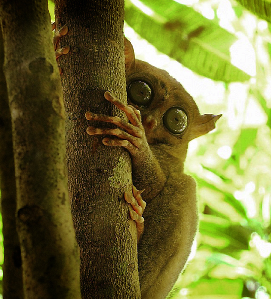 Tarsier Hidding