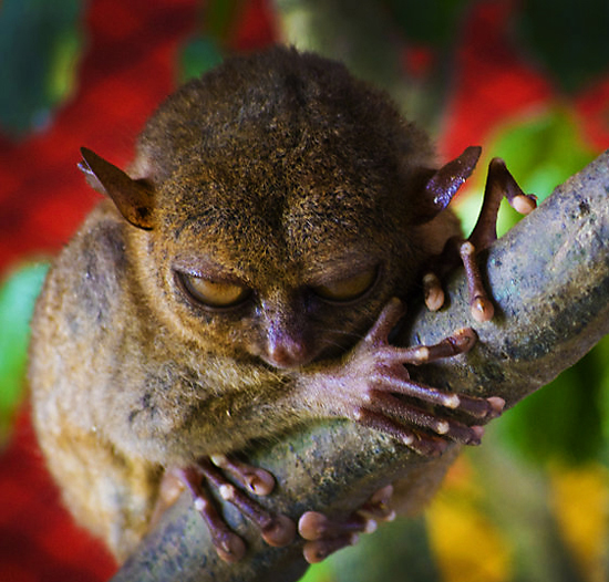 Evil Looking Tarsier