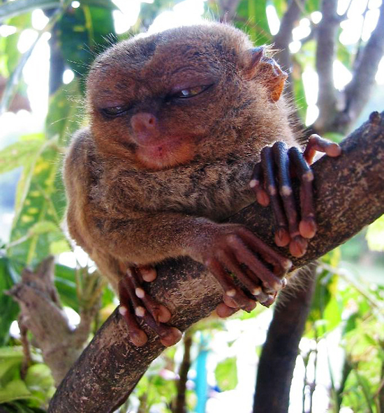 Sleepy Tarsier