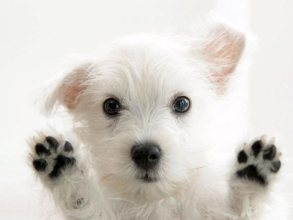 Cute White Puppy